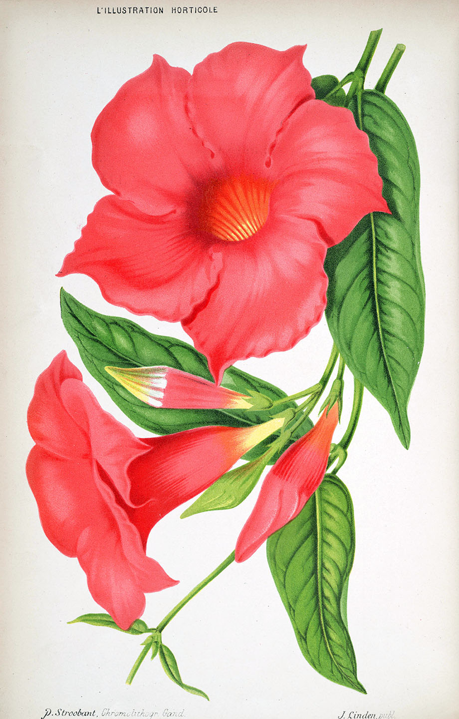 Dipladenia splendens, L'illustration horticole.